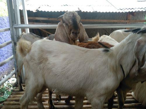 Kambing-kambing sehat dan gemuk siap dipotong untuk Paket Catering Aqiqah Jakarta Selatan Bebas Ongkos Kirim.